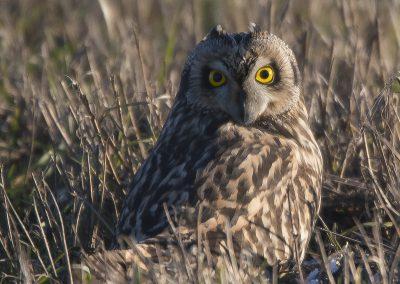 Vogelfotografie von Hartmut Fehr: Sumpfohreule sitzt im Feld.