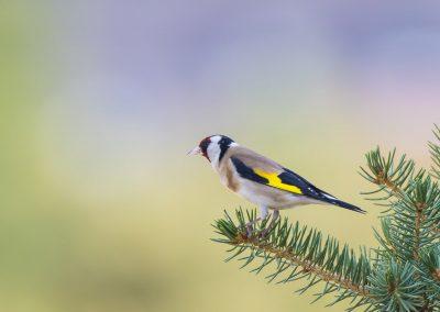 Vogelfotografie von Hartmut Fehr: Ein Stieglitz im schönen Hintergrundlicht.