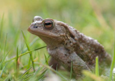Amphibienfotografie von Hartmut Fehr: eine Erdkröte im Gras auf der Wanderung.