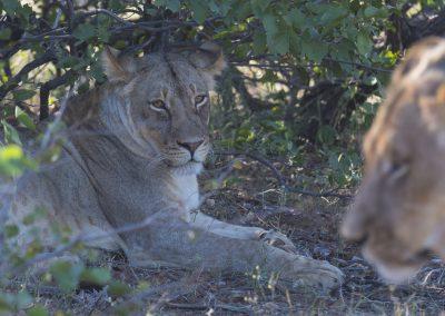 Löwen (Botswana) | Faszination Tierfotografie - Hartmut Fehr