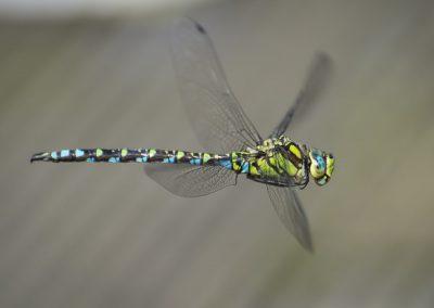 Libellenfotografie von Hartmut Fehr: eine Blaugrüne Mosaikjungfer im Flug.