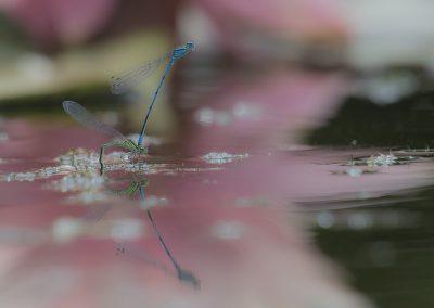 Libellenfotografie von Hartmut Fehr: Azurjungfern bei der Paarung im Gegenlicht.
