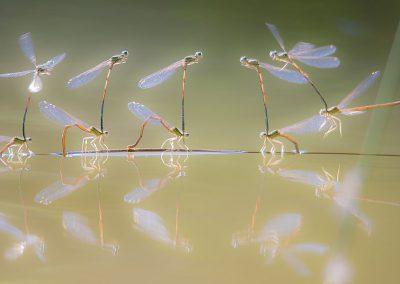 Libellenfotografie von Hartmut Fehr: Federlibellen bei der Paarung im Gegenlicht.