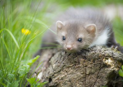 Junger Steinmarder | Faszination Tierfotografie - Hartmut Fehr