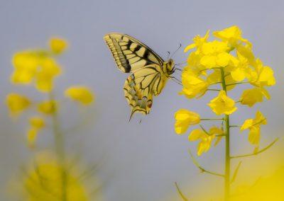 Insektenfotografie von Hartmut Fehr: Der Schwalbenschwanz sitzt auf einer Rapsblüte.