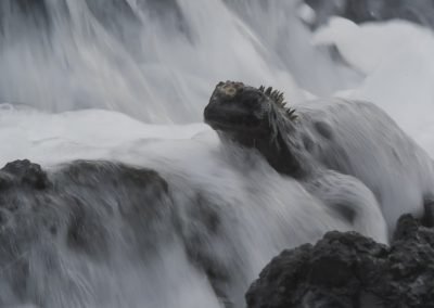 Reptilien Tierfotografie Hartmut Fehr: Eine Meerechse wird von der Brandung überspült.