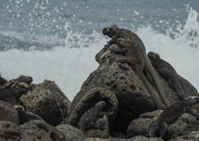 Reptilienfotografie von Hartmut Fehr: eine Gruppe von Meerechsen sitzt auf Felsen in der tosenden Brandung. Puerto Ayora/Santa Cruz/Galápagos.
