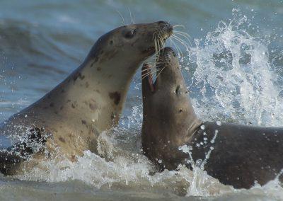 Badespaß bei den Kegelrobben | Faszination Tierfotografie - Hartmut Fehr