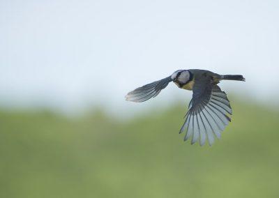 Vogelfotografie von Hartmut Fehr: Blaumeise im Flug.