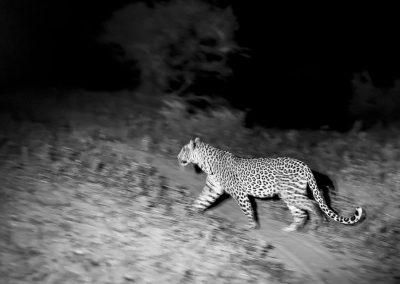 Leopard auf nächtlicher Jagd | Faszination Tierfotografie - Hartmut Fehr
