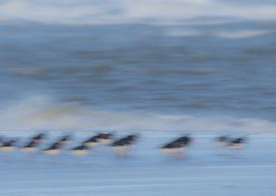 Austernfischer am Strand - Foto des Monats Oktober 2017 | Faszination Tierfotografie - Hartmut Fehr
