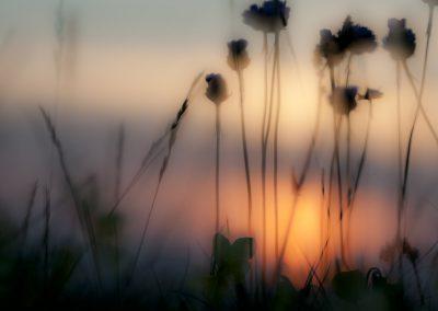 Pflanzenfotografie von Hartmut Fehr: Im letzten Abendlicht Galmei-Grasnelken und Galmeiveilchen