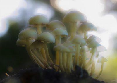 Pilzfotografie von Hartmut Fehr: Eine Gruppe Pilze im Gegenlicht.