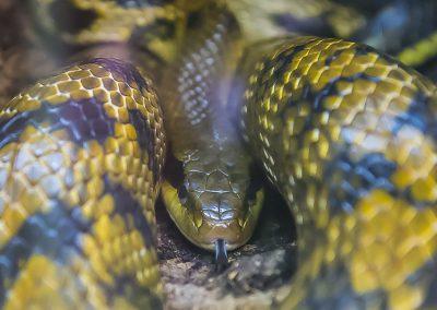 Schlangenfotografie von Hartmut Fehr: eine Schönnatter im Portrait.