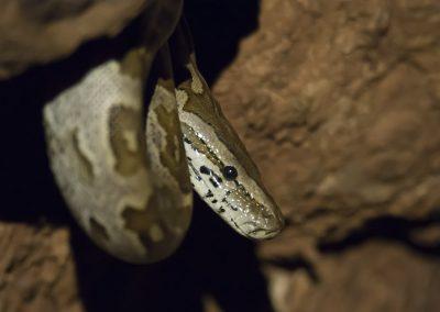 Schlangenfotografie von Hartmut Fehr: Portrait eines südlichen Felsenpythons im Kruger-Nationalpark (Südafrika).