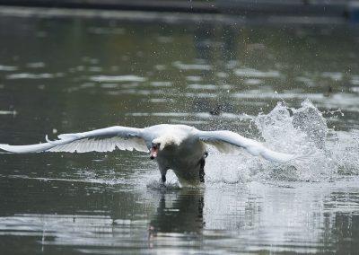 Vogelfotografie von Hartmut Fehr: Startender Höckerschwan