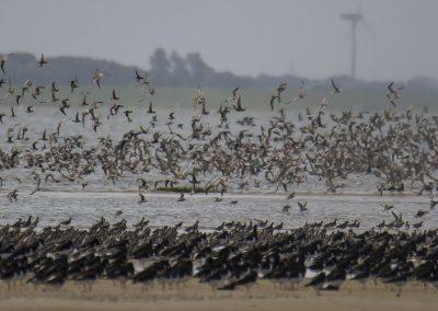 Vogelfotografie von Hartmut Fehr: Riesige Vogelschwärme an der Ostspitze der Nordseeinsel Norderney.