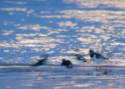 Vogelfotografie von Hartmut Fehr: Austernfischer im Mondlicht; Cadzand-Bad