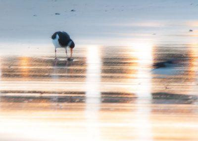 Vogelfotografie von Hartmut Fehr: Austernfischer in der Abendsonne am Strand.