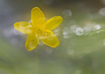 Pflanzenfotografie von Hartmut Fehr: Eine gelbe Anemone tausendfach gespiegelt im Gegenlicht.