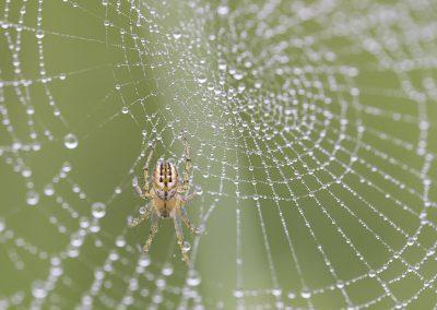 Makrofotografie von Hartmut Fehr: Eine Spinne sitzt in einem Netz voller Morgentau.