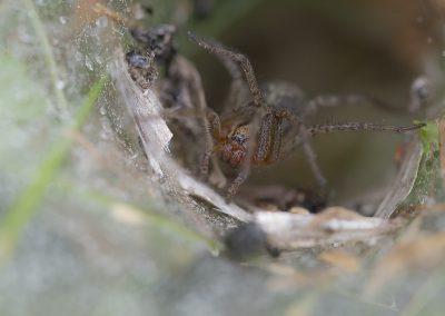 Makrofotografie von Hartmut Fehr: Trichternetzspinne sitzt im Netz und wartet auf Beute.