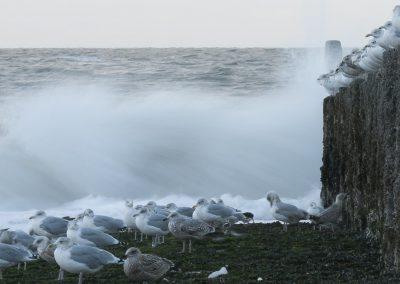 Vogelfotografie von Hartmut Fehr: Ein Trupp Silbermöwen sitzt auf Wellenbrechern bei tosender Brandung.