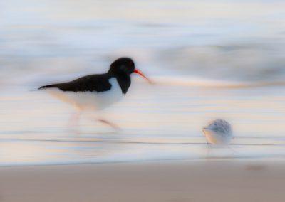 Vogelfotografie von Hartmut Fehr: Austernfischer und Sanderling laufen am Strand entlang.