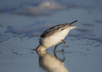 Vogelfotografie von Hartmut Fehr: Sanderling steckt den Kopf in den Sand.