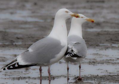Vogelfotografie von Hartmut Fehr: zwei Silbermöwen am Strand von Cuxhaven.