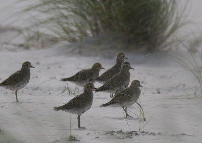 Vogelfotografie von Hartmut Fehr: Ein Trupp Goldregenpfeifer steht in den Dünen von Norderney.