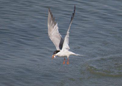 Vogelfotografie von Hartmut Fehr: Flußseeschwalbe bei der Jagd.