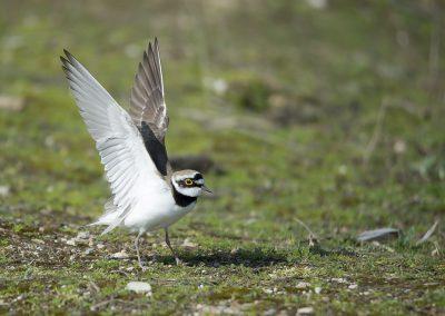 Vogelfotografie von Hartmut Fehr: Ein Flussregenpfeifer faltet die Flügel auf um zu starten.
