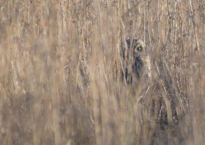 Vogelfotografie von Hartmut Fehr: eine Sumpfohreule schaut aus ihrem Versteck heraus.