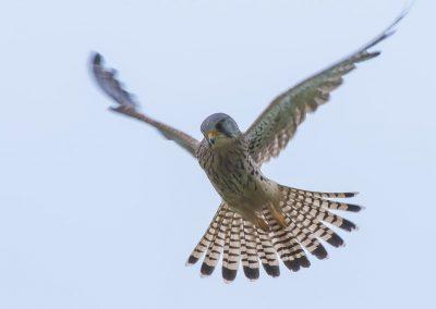 Vogelfotografie von Hartmut Fehr: ein Turmfalke steht rüttelnd in der Luft.
