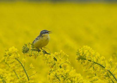 Vogelfotografie von Hartmut Fehr: Eine Schafstelze sitzt singend im Rapsfeld.
