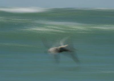 Vogelfotografie von Hartmut Fehr: fliegender Pelikan am Golf von Mexiko in Florida.
