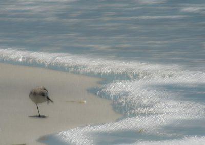 Vogelfotografie von Hartmut Fehr: Sanderling am Strand von Florida mit Meeresleuchten.
