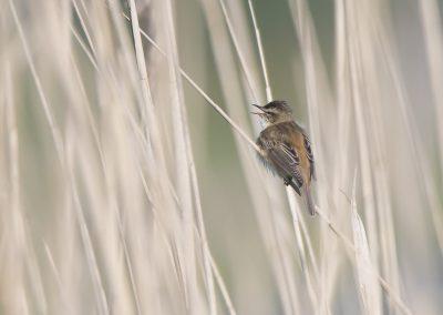 Vogelfotografie von Hartmut Fehr: ein Schilfrohrsänger sitzt singend im Schilf. Dümmer See.