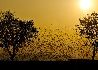 Vogelfotografie von Hartmut Fehr: ein riesiger Starenschwarm am Abendhimmel.