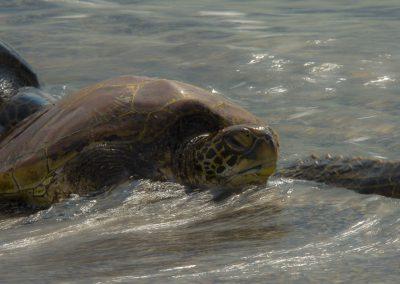 Reptilienfotografie von Hartmut Fehr: zwei Grüne Meeresschildkröten am Strand von Fernandina (Galápagos).