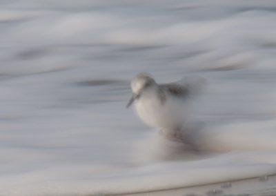 Vogelfotografie von Hartmut Fehr: Schnell rennender Sanderling am Ostseestrand.