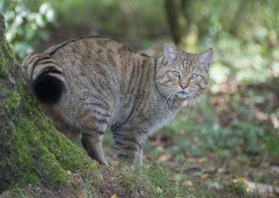 Europäische Wildkatze | Faszination Tierfotografie - Hartmut Fehr