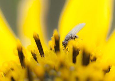 Insektenfotografie von Hartmut Fehr: Makro eine blütenbesuchenden Fliege.