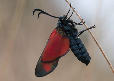Insektenfotografie von Hartmut Fehr: ein Widderchen öffnet zum ersten mal seine Flügel.