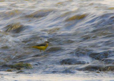 Vogelfotografie von Hartmut Fehr: eine Gebirgsstelze im fließenden Bach.