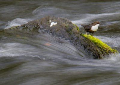 Wasseramsel an der Rur - Foto des Monats Oktober 2019 | Faszination Tierfotografie - Hartmut Fehr