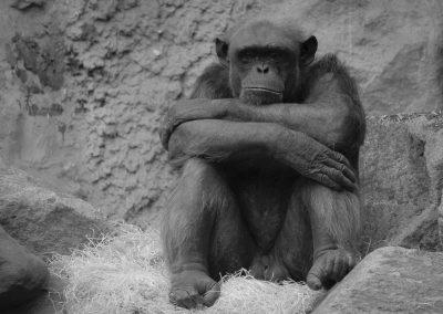 Trauriger Schimpanse - Foto des Monats November 2019 | Faszination Tierfotografie - Hartmut Fehr