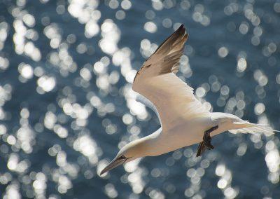 Basstölpel im Flug | Faszination Tierfotografie - Hartmut Fehr