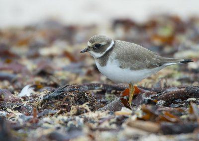 Sandregenpfeifer auf Helgoland | Faszination Tierfotografie - Hartmut Fehr